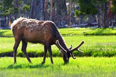 Elk In Yellowstone (3) Stock Photography