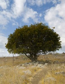 The Oak Tree Royalty Free Stock Images