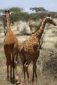 Free Giraffe Walking Stock Photo - 6654180