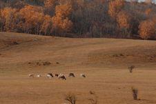 Free Bashang Grassland In Inter-Mongolia  Of China Royalty Free Stock Photo - 6654405