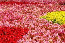 Free Begonia Flower Royalty Free Stock Images - 6654719