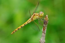 Free Dragonfly Royalty Free Stock Image - 6655056