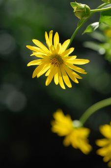 Free Yellow Chrysanthemum Stock Image - 6655091