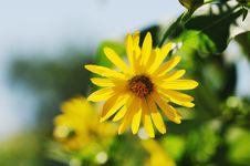 Free Yellow Chrysanthemum Stock Photo - 6655100