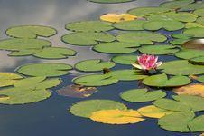 Free Lotus Stock Images - 6655174