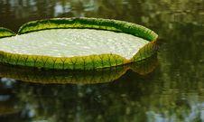 Free Big Lotus Leaf Royalty Free Stock Photo - 6655195