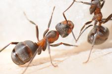 Free Red-haired Wood Ant Stock Image - 6655351