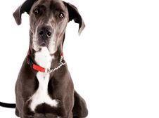Free Great Dane Royalty Free Stock Photo - 6655395