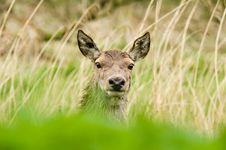 Free Deer Royalty Free Stock Photography - 6655587