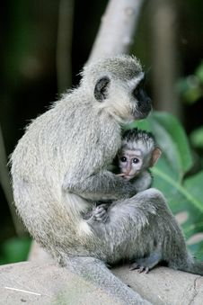 Free Monkey Sitting With Baby Stock Photos - 6655693
