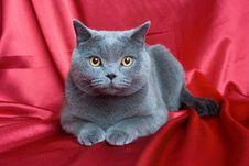 Free British Cat-04 Royalty Free Stock Image - 6655816