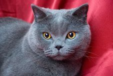 Free British Cat-04 Royalty Free Stock Images - 6655819