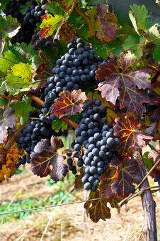Free Autumn Vineyard Stock Photo - 6656500