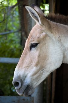 Head Of A Horse In A Profile. Royalty Free Stock Image