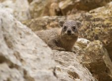 Free The Rock Dassie Stock Image - 6657491