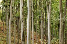 Free Beech Forest Stock Photos - 6658173