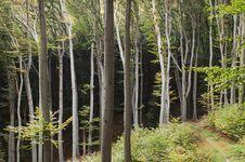 Free Beech Forest Stock Photos - 6658183