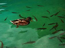 Free Duck Stock Photo - 6659840