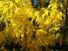 Free Yellow Mimosa Stock Photography - 66583732