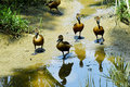 Free Ducklings Stock Photo - 6663110