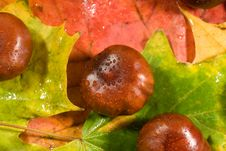 Free Chestnuts On Autumn Leaves Royalty Free Stock Images - 6660719
