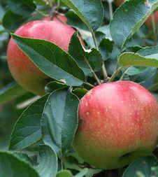 Free Apples Royalty Free Stock Photos - 6661968