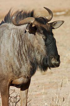 Free Blue Wildebeest (Connochaetes Taurinus) Stock Photo - 6663820
