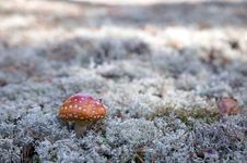 Free Mushroom, Red Fly Agaric Royalty Free Stock Photography - 6663827