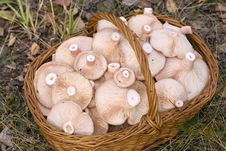 Free Basket, Full Of Mushrooms Royalty Free Stock Photography - 6663897