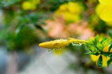 Free Yellow Allamanda Flower Bud Royalty Free Stock Images - 6664069