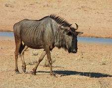 Free Blue Wildebeest (Connochaetes Taurinus) Royalty Free Stock Photos - 6664108