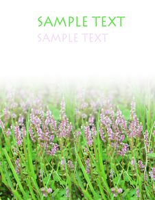 Free Purple Flower And Grassplot Royalty Free Stock Photo - 6664115