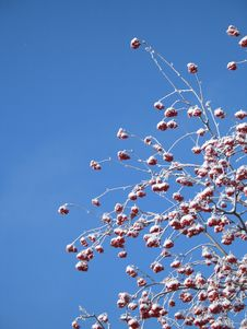 Free Frosted Berry Tree Royalty Free Stock Images - 6664879