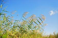 Free Reeds Stock Image - 6665461