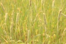 Free Wheat Field Royalty Free Stock Images - 6666609