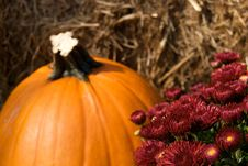Free Burgundy Mums And Pumpkin Display Stock Photo - 6666810