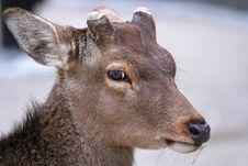 Free Closeup Of Deer Stock Photography - 6667012