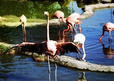Free Pink Flamingo Royalty Free Stock Image - 6667046
