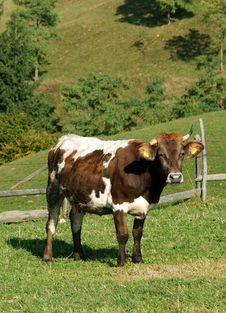 Free Cow Farm On Meadow Royalty Free Stock Photo - 6667095