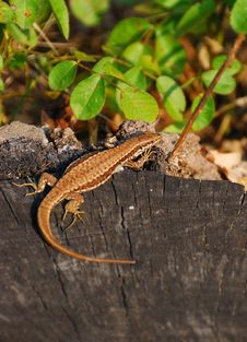 Free Lizard Stock Photo - 6667220