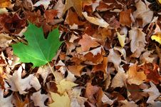 Free Maple Leaves 2 Stock Photos - 6667653