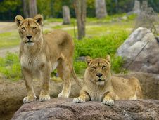 Free The Two Lions Stock Images - 6667724