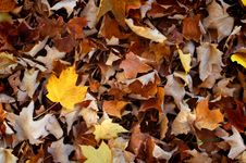 Free Maple Leaves Stock Photo - 6667740