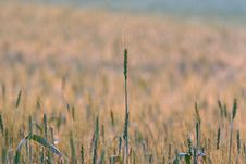 Free Wheat Field Royalty Free Stock Image - 6668136