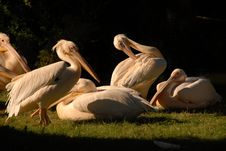 Friendly Pelicans Royalty Free Stock Photos