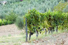 Free Vineyards Tuscany Royalty Free Stock Photos - 6669528