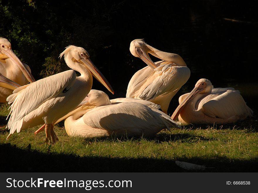 Friendly pelicans