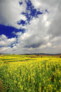 Free Yellow Rape Field Under The Sky Royalty Free Stock Photos - 6673348