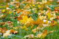 Free Autumn Yellow Leaves On Green Herb Stock Image - 6676451