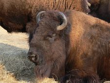 Free Bison Royalty Free Stock Photos - 6670158